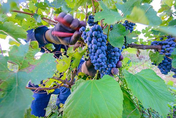 Grape harvest 2015: ever higher standards